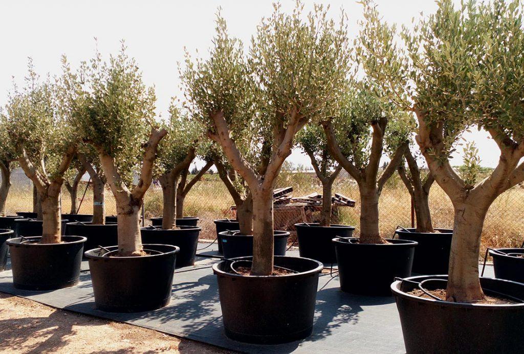 Empeltre Aragones en Venta - Olivo Ginart Oleas