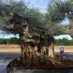 Olivo de Gran Porte Galega Ginart Oleas