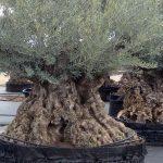 Olivos Centenarios Hojiblanca Ginart Oleas 1