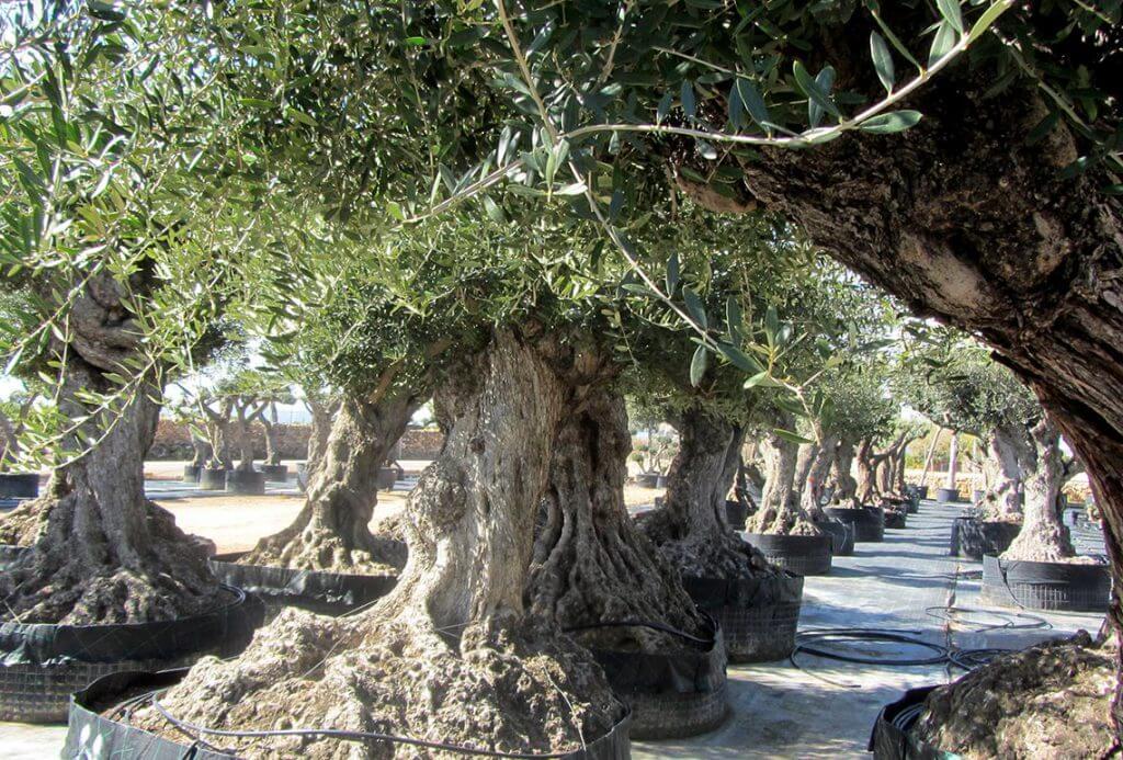 Olivo Lechín de Gran Porte Ornamental