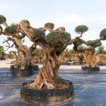 Olivo Sevillenca Monumental Ginart Oleas 2