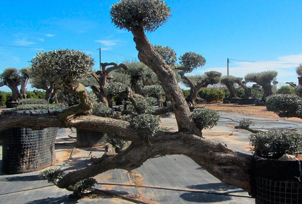Olivos Tumbados (Tumbada) Ginart Oleas