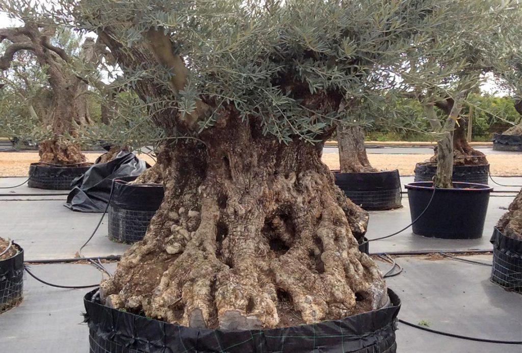Olivos Centenarios Hojiblanca Ginart Oleas