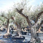 Olivos Morruda Monumentales de Gran Porte 6