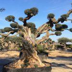 Olivo Sevillenca Monumental Ginart Oleas