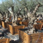 Olivos Centenarios Hojiblanca Ginart Oleas 3
