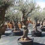 Olivos Centenarios Hojiblanca Ginart Oleas 4