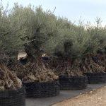 Olivos Centenarios Hojiblanca Ginart Oleas 5