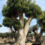 Ceratonia Siliqua (Algarrobo) Ornamental 4