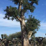 Ceratonia Siliqua (Algarrobo) Ornamental 7