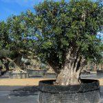 Ceratonia Siliqua (Algarrobo) Ornamental 6