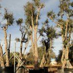 Quercus Suber (Alcornoque) Ginart Oleas 2