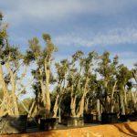 Quercus Suber (Alcornoque) Ginart Oleas 3