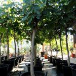 Ficus Carica Ginart Oleas 2