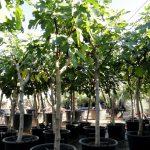 Ficus Carica Ginart Oleas 3