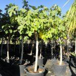 Ficus Carica Ginart Oleas 4