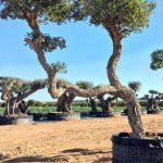 Quercus Suber (Alcornoque) Ginart Oleas 4
