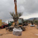 Logistica Olivos Milenarios