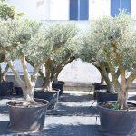 Olivos Arbequina Ornamentales