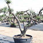 Olivos Arbequina Ornamentales 3