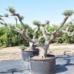 Olivos Arbequina Ornamentales 4