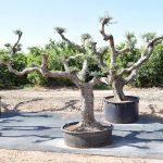 Olivos Arbequina Ornamentales 6