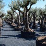 Olivos Arbequina Ornamentales 8