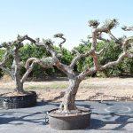 Olivos Arbequina Ornamentales 9