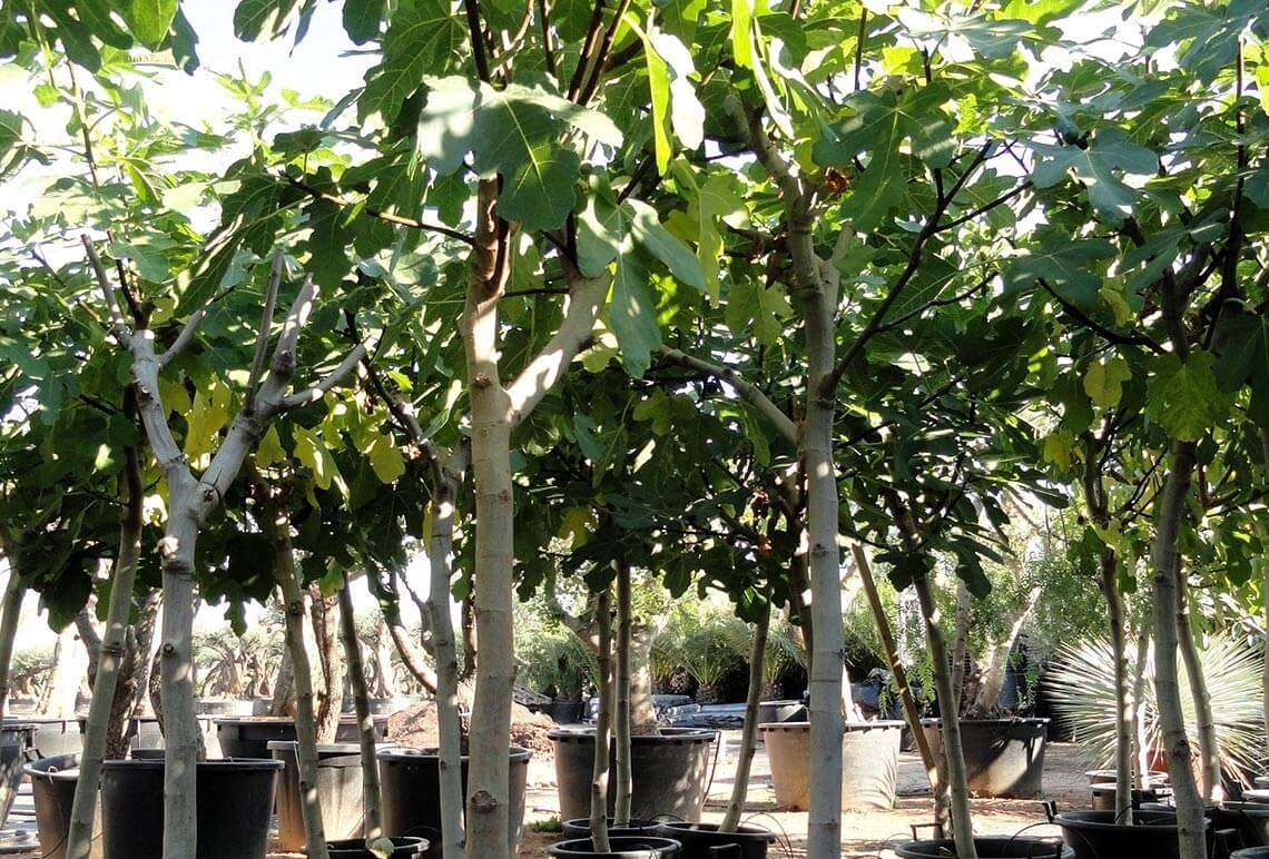 Ficus Carica Higuera Ginart Oleas