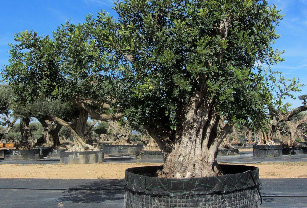 Ceratonia Siliqua (Algarrobo) Ornamental