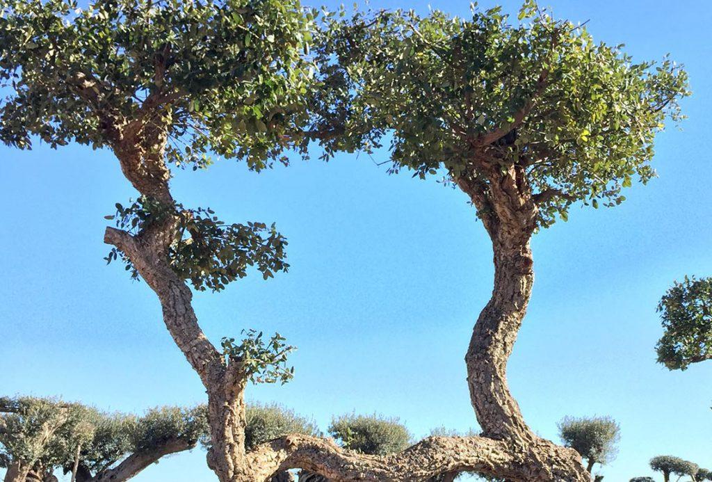 Quercus Suber (Alcornoque) Ginart Oleas