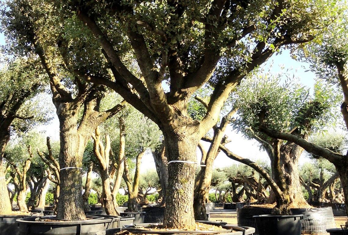 Quercus Ilex en Venta - Encina Ginart Oleas