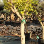 Púnica Granatum (Granado) Ginart Oleas 1