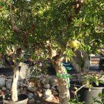 Púnica Granatum (Granado) Ginart Oleas