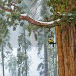 Árbol de 3.200 Años es tan Grande Que no Sale en las Fotos… Hasta Ahora