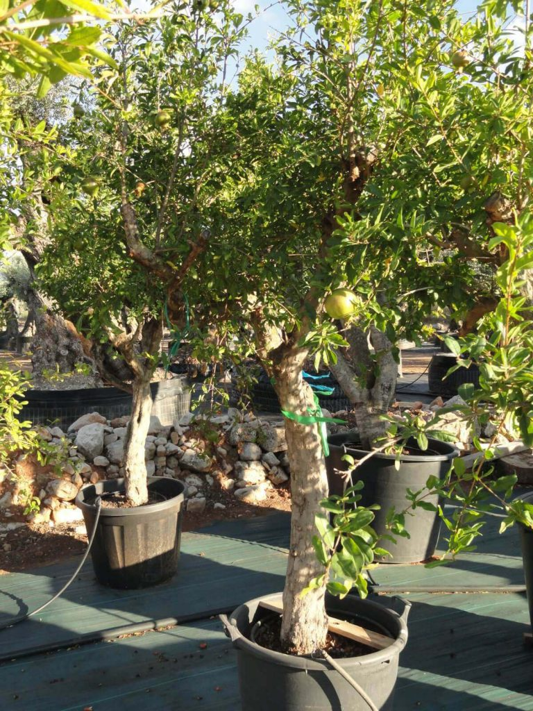 Púnica Granatum (Granado) Ginart Oleas 4