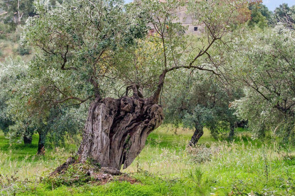 Olivos Centenarios Ginart Oleas Naturales