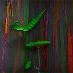 El Árbol Arcoiris Más Bonito del Mundo