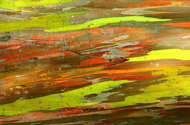 Eucalipto Arco Iris Ginart Oleas 2