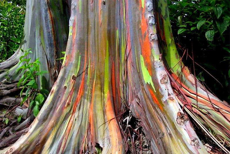 Eucalipto Arcoiris Ginart Oleas 3