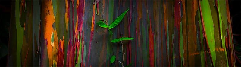 Eucalipto Arco Iris Ginart Oleas