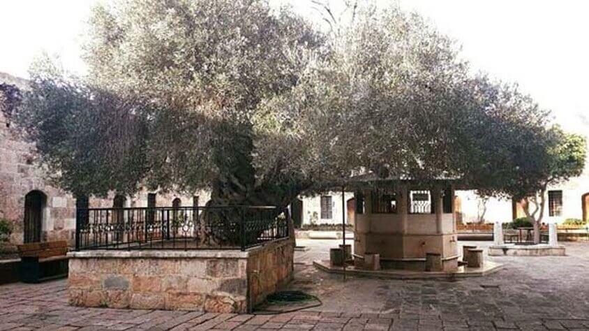 El Olivo del Sultan Ginart Oleas