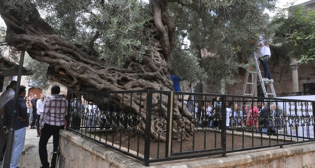 Olivo Monumental Milenario Ginart Oleas
