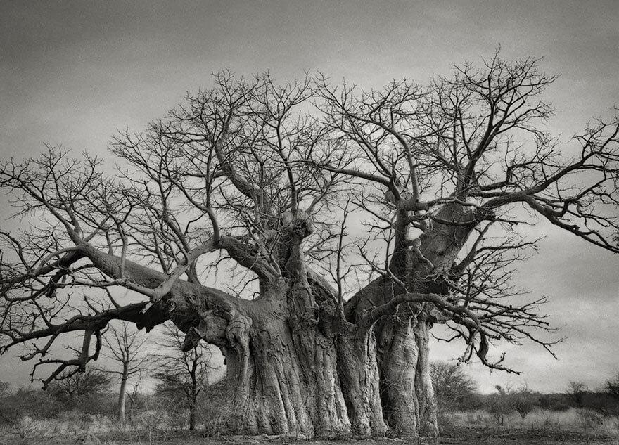 El Baobab Bufflesdrift
