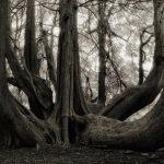 Una Década Fotografiando los Árboles más Viejos del Mundo