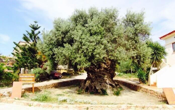 Olivo Milenarios Grecia Ginart Oleas 01