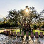 ¿Dónde Está el Olivo Más Antiguo del Mundo?