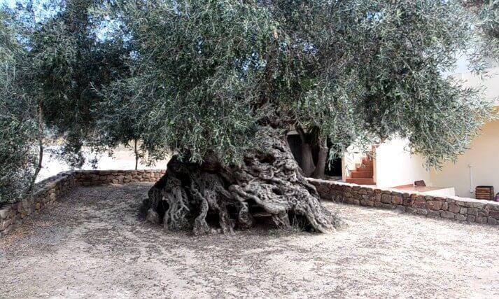 Olivo Milenarios Grecia Ginart Oleas 03