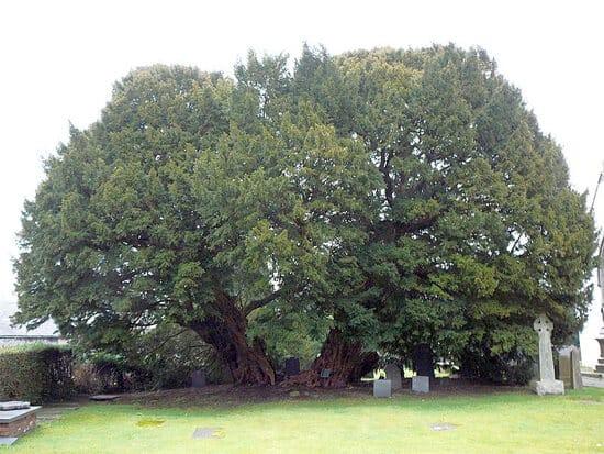 Gales del Norte Arbol Muy grande Ginart Oleas