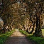 Árboles Que Cambiaron el Mundo: El Olivo